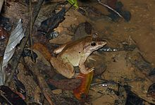 Giant Mountain Frog (Limnonectes blythii) (8680989114).jpg