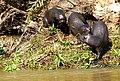 Giant Otters (Pteronura brasiliensis) family group ... (48427165226).jpg