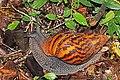 Giant tiger land snail (Achatina achatina).jpg