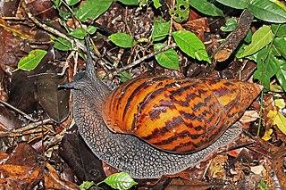 <i>Achatina achatina</i> Species of gastropod