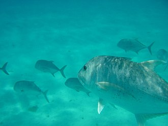 Giant trevally - A school of subadult giant trevally in a sandy bay, Hawaii
