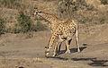 Giraffe, Giraffa camelopardalis at Mahone Loop, Punda Maria, Kruger National Park, South Africa (20827434321).jpg