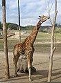 Giraffe (313477461).jpg