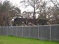 Giraffe Fence.jpg