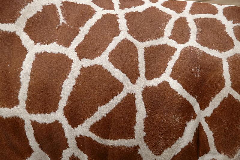 http://upload.wikimedia.org/wikipedia/commons/thumb/1/19/Giraffenfell.JPG/800px-Giraffenfell.JPG