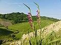 Gladioli selvatici - panoramio.jpg