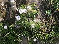 Globularia cordifolia 01.jpg