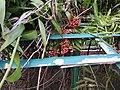 Gloriosa superba-2-Eco park-howrah-India.jpg