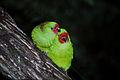 Glossopsitta pusilla loriak.jpg