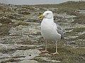 Goéland argenté (Larus argentatus) (21).jpg