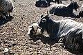 Goats along the Friendship Highway, Tibet in 2014 - 14036474730.jpg