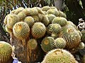 Golden Barrel Cactus (Echinocactus grusonii) very old specimen (over 140 years old) ... (35622537981).jpg