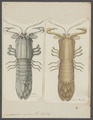 Gonodactylis scylarus - - Print - Iconographia Zoologica - Special Collections University of Amsterdam - UBAINV0274 097 13 0014.tif