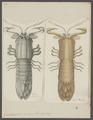 Gonodactylis scylarus - - Print - Iconographia Zoologica - Special Collections University of Amsterdam - UBAINV0274 097 13 0014.tif