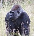 Gorilla 2 (4872640363).jpg