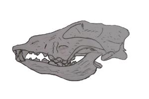 Goyet Caves - Image: Goyet cave canid skull full