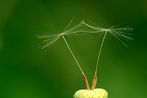 Dandelion (Taraxacum officinale) achenes. Fran...