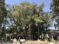 Grand camphor tree in Aoi Aso Shrine.jpg