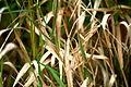 Grasses (1445664644).jpg
