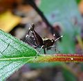 Grasshopper. Tetrigidae - Flickr - gailhampshire (1).jpg