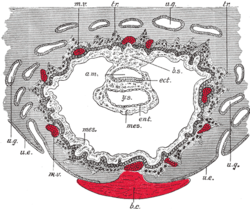 Section through ovum imbedded in the uterine decidua. Semidiagrammatic. am. كيس سلوي. b.c. خثرة. b.s. سويقة الجسم. ect. أديم ظاهر. ent. أديم باطن. mes. أديم متوسط. m.v. Maternal vessels. tr. أرومة مغذية. u.e. Uterine epithelium. u.g. Uterine glands. y.s. كيس محي.