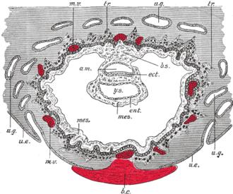 Uterine gland - Section through ovum imbedded in the uterine decidua. Semidiagrammatic.   am. Amniotic cavity. b.c. Blood-clot. b.s. Body-stalk. ect. Embryonic ectoderm. ent. Entoderm. mes. Mesoderm. m.v. Maternal vessels. tr. Trophoblast. u.e. Uterine epithelium. u.g. Uterine glands. y.s. Yolk-sac.