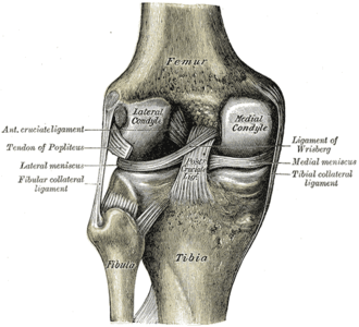 Fibular collateral ligament - Left knee-joint, posterior aspect, showing interior ligaments. (Fibular collateral ligament labeled at center left.)