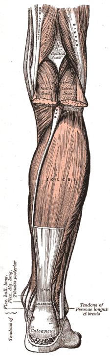 M.triceps surae: pohled na m.soleus; mm.gastrocnemii jsou částečně odříznuté.