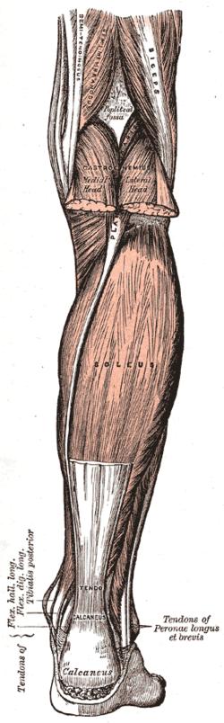 Soleus muscle - Wikipedia