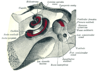 The cochlea and vestibule, viewed from above.