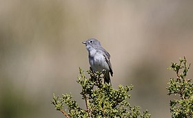 Gray Vireo (Vireo vicinior) (16590071734).jpg