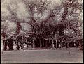 Great Banyan Tree at Botanical Gardens in Howrah.jpg