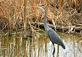 Great Blue Heron (71982785).jpg