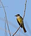 Great Crested Flycatcher (Myiarchus crinitus) (36451359566).jpg