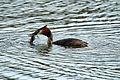Great Crested Grebe - Lackford Lakes (26702649322).jpg
