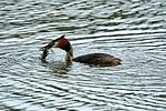 Great Crested Grebe - Lackford Lakes (26702649322).jpg