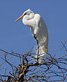 Great Egret - Flickr - Andrea Westmoreland (6).jpg