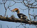 Great Hornbill DSCN8644 08.jpg
