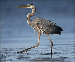 Great blue heron in the Everglades.jpg