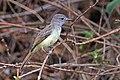 Great crested flycatcher (Myiarchus crinitus).jpg