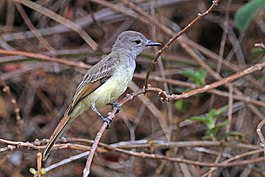 Great crested flycatcher (Myiarchus crinitus).jpg