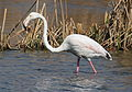 Greater Flamingo, Phoenicopterus roseus at Marievale Nature Reserve, Gauteng, South Africa (21479557311).jpg