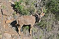 Greater Kudu (Tragelaphus strepsiceros) in Rooiwalle Canyon ... (32628800712).jpg