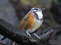 Greater Necklaced Laughingthrush RWD3.jpg