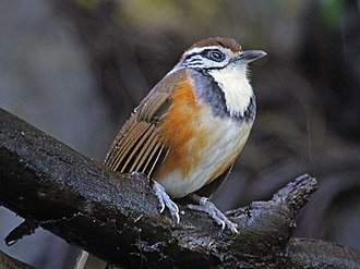Greater necklaced laughingthrush - Image: Greater Necklaced Laughingthrush RWD3