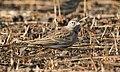 Greater Short-toed Lark Calandrella brachydactyla by Vedant Kasambe 02.jpg