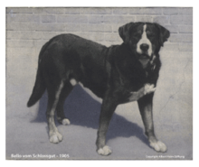 A photograph of the 1908 Greater Swiss Mountain Dog.