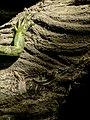 Green Iguana (19639481721).jpg
