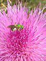Green Sweat Bee on Wavyleaf Thistle (19519774482).jpg