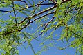 Green Tree - Blue Sky (3468490042).jpg